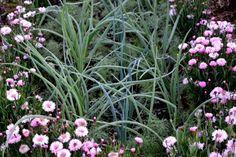 Onion, leek and cornflower 'Tom Pouce Pink'. #kitchengarden #growfood #garden #gardening #potager #vegetables