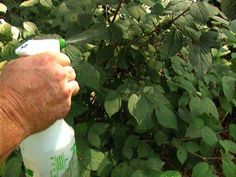Effective Fungicides Got fungal disease on your favorite garden roses or vegetables? Master gardener Paul James offers simple and easy-to-use fungicide treatments to resolve these pesky problems. Nutrient Cycle, Plant Tissue, Citronella Oil, Plant Diseases, Powdery Mildew, Garden Pests, Vegetable Garden, Home Remedies, Gardens