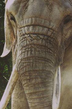 Elephant Trunk, Elephant Love, Baby Elephants, Animal Collective, Elephant Pictures, King Of The World, Crazy Dog Lady, Wildlife Nature, Gentle Giant