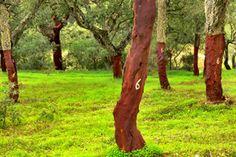 Google Image Result for http://www.cork.pt/image/portuguese-cork-oak-stand.jpg