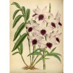 Dendrbium Ainsworthu Roseum Orchid