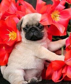 """Acquire wonderful recommendations on """"fawn pug puppies"""". They are actually accessible for you on our website. Cute Pug Puppies, Black Pug Puppies, Cute Dogs, Dogs And Puppies, Doggies, Terrier Puppies, Bulldog Puppies, Boston Terrier, Sweet Dogs"""