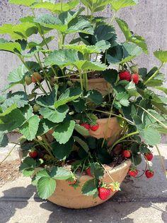 「みんな大好き真っ赤なイチゴ!」.... 深町貴子ガーデニングアドバイス Edible Garden, Fruit Trees, Hydroponics, Agriculture, Succulents, Flowers, Gardening, Vegetables Garden, Gardens