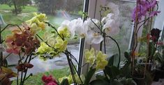 az-orchidea-szetultetesenek-titkai-hogyan-csinaljunk-egy-orchideabol-szazat Glass Vase, Ale, Flowers, Plants, Funguje To, Decor, Decoration, Ale Beer, Plant