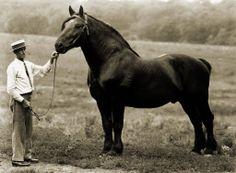 vintage image of Percheron