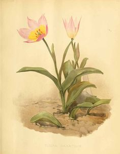 203464 Tulipa saxatilis Sieber ex Sprengel / The garden. An illustrated weekly journal of horticulture in all its branches [ed. William Robinson], vol. 56:  (1899)