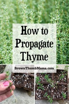 Never enough thyme? Thyme is running through your hands? All puns aside, it truly is easy to propagate thyme from cuttings--whether you're growing it in your garden, in raised beds, or indoors in pots. Container Gardening Vegetables, Planting Vegetables, Vegetable Gardening, Flower Gardening, Growing Vegetables, Veggies, Wooly Thyme, Thyme Plant, Thyme Herb