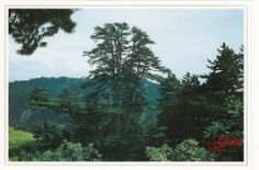 Chinese Pine in Mount Lingkong,Shanxi,China Scenery Postcard