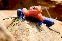 This is The Mwanza Flat Headed Agama lizard that bears a striking resemblance to Spider-Man. Isn't it not?    © Chulani Iddawela, 2012