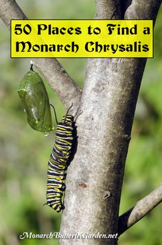 Where to look for Monarch Chrysalises in the garden + how you can help give caterpillars more 'hang out' options for their next stage of metamorphosis.