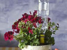 Viherkasvin ruukkuun asetettava kastelupullo pidentää kasvien kasteluväliä.