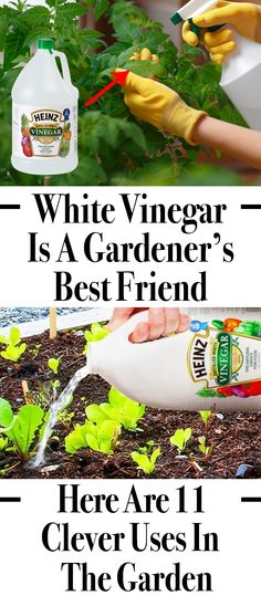Now there are tips and tricks to grow food organically, but the there is no complete solution for the pest problem. Thus expert's recommends the use of vinegar, which acts as a great life saver for plants. #vinegar #garden