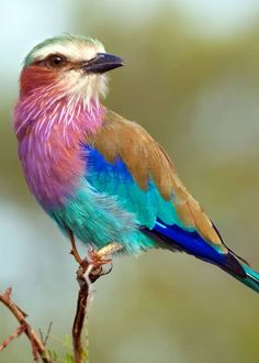 A gorgeous lilac-breasted roller hanging out on a branch. From 26 of the Most C… A gorgeous lilac-breasted roller hanging out on a branch. From 26 of the Most Colorful Birds on the Planet (And Where to Find Them) – By Just Birding! Animals Of The World, Animals And Pets, Cute Animals, Polar Animals, Nature Animals, Wild Animals, Most Beautiful Birds, Pretty Birds, Amazing Animals