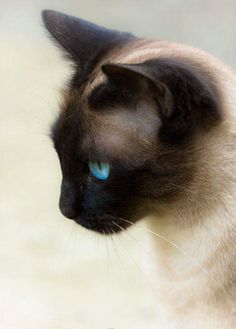IT'S THE EYES OF A SIAMESE ONE NEVER FORGETS   <3 <3 <3