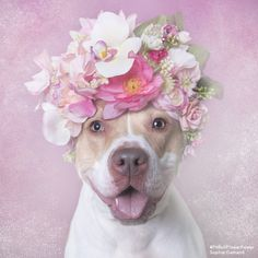 Photographer makes special portraits of pit bulls to show their sweet personalities :) http://www.sophiegamand.com/flower-power-collection/