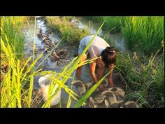 Amazing good girl catch net fishing on the rice field, Catching fish tra...