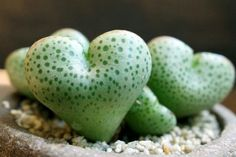 ADORABLE heart shaped succulents!