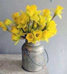 Milk can with daffodills