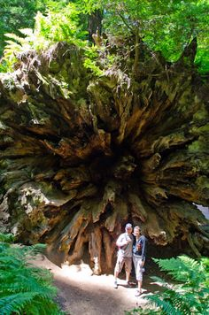The Dyerville Giant - giant fallen tree, Humboldt Redwoods, CA