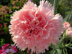 Helpful tips hat will make Growing Carnations super easy! Growing carnation flowers adds long lasting color and beautiful scent to your garden. Dianthus are also great as cut flowers! Growing Carnations, Pink Carnations, Growing Flowers, Cut Flowers, Planting Flowers, Ficus, Clusia, Begonia, Lagerstroemia Indica