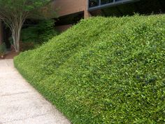 Asian Jasmine ground cover.  This is a great ground cover for the deep south in full sun areas where nothing else will grow Invasive, though!