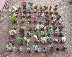 "20 Misc Succulent Collection 20 Spring Rooted Specimens in 2"" Pots and Soil 