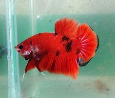 AquaBid.com - Item # fwbettashmp1424228502 - Red Tiger HMPK Male - Ends: Tue Feb 17 2015 - 09:01:42 PM CDT