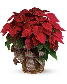 Christmas Flowers Delivery Louisa KY - Farmhouse Memories Red Christmas Flower, Christmas Plants, Christmas Poinsettia, Noel Christmas, Beautiful Christmas, Xmas, Christmas Wishes, Christmas Christmas, Christmas Wedding