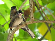 Female Oriental Magpie Robin Protecting a Juvenile Red Whiskered Bulbul