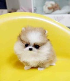 The cutest baby pomeranians - Google Search