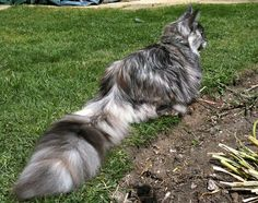 """Now, THAT is a tail!  And the grass is green, so surely it isn't her winter coat.   8-month-old Daisy, a """"Smoke"""" Maine Coon -- Smoke cats have white undercoat / roots and other color on tips of hair a"""