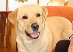 Neo Virto #LabradorRetriever #veterinario www.veterinario.es