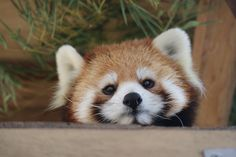 Funny Animal Memes, Funny Animals, Cute Baby Animals, Animals And Pets, Red Panda Cute, Animal Pictures, Cute Pictures, Cute Dogs, Cute Babies