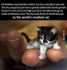 Peebles, he's the worlds smallest cat . Peebles is actually two years old. He was born with genetic defect that stunts growth. At high and long, Mr. Peebles is holding the Guinness Book of Records title as the worlds smallest cat Small Kittens, Tiny Cats, Cute Kittens, Small Cat, Cats And Kittens, Tiny Kitten, Fluffy Kittens, Tiny Tiny, Animals And Pets