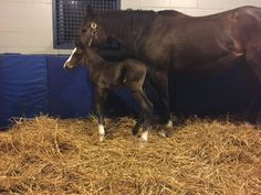 Brookdale Farm in Versailles announced Tuesday that the maiden mare Kakadu had given birth to a bay colt that is believed to be the first foal born by American Pharoah. Pretty Horses, Beautiful Horses, American Pharoah Foals, Triple Crown Winners, Derby Winners, Types Of Horses, Sport Of Kings, Thoroughbred Horse, All About Horses