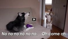These two lovely funny talking huskies look like they are having an interesting conversation. We may only guess what exactly they are talking about but the toy has a central place in that conversation that's for sure!  Check the cute dog at the end too!
