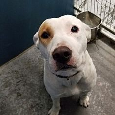 Pictures of Prue a Bull Terrier for adoption in Henderson, NC who needs a loving home.