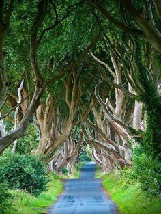 tassels:    The Dark Hedges, Northern Ireland