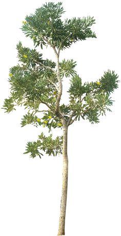20 бесплатных дерево PNG изображений - TabebuiaA01L