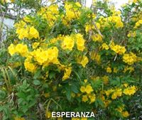Esperanza (yellow bells) - After Feb's freeze, it's now 5 ft tall already in mid-June will continue to flower until the first frost of the season. Esperanza has recently become a popular ornamental plant in Texas gardens. The striking, tubular 2½-inch bright yellow flowers are highlighted by the attractive, shiny, green foliage. The flowers have an odd but pleasing fragrance and provide nectar for bees. In the wild, it will be found growing in full sun on rocky slopes near San Antonio and in…