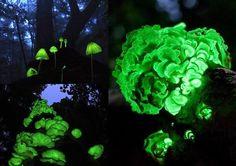 """A floresta incandescente de Shikoku, Japão.  Esta floresta brilha no escuro graças a um punhado de cogumelos luminescentes. Os cogumelos e as folhas caídas emitem essa luz """"mágica"""" por apenas um curto período de tempo a cada ano. Fonte: Climatologia Geográfica"""