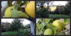 Lemons on our balcony Honeydew, Balcony, Fruit, Food, October, Honeydew Melon, Balconies, Eten, Meals