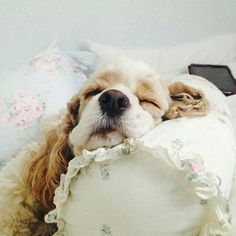"""Receive excellent tips on """"cocker spaniel dog"""". They are readily available for you on our internet site. American Cocker Spaniel, Cocker Spaniel Puppies, English Cocker Spaniel, Beautiful Dogs, Animals Beautiful, Cute Animals, Cute Puppies, Cute Dogs, Dogs And Puppies"""
