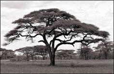 Acacia ~ Serengeti N.P., Tanzania
