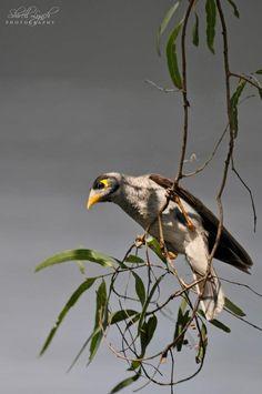 Noisy Mynah - Starling Family