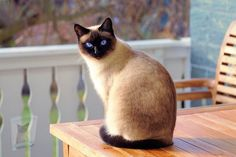 Cute Kittens, Siamese Kittens, Cats And Kittens, Tabby Cats, Pet Cats, Cats Bus, Bengal Cats, Kitty Cats, Cats Meowing