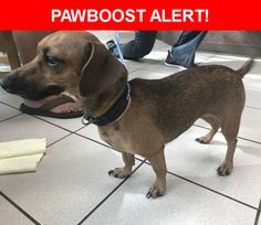 Is this your lost pet? Found in Jacksonville, FL 32244. Please spread the word so we can find the owner!  Brindle coat, looks like a mix dachshund puppy, has black collar and pink collar with breast cancer awareness ribbon charm  Near Willow Run Rd & Ricker Rd