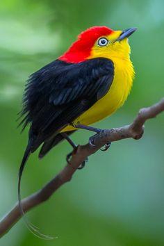 Rabo-de-arame, Dançador-de-cauda-fina, Irapuru, Irapuru-de-cauda-longa, Tangará, Uiramiri, Uiramirim ou Uirapuru-de-cauda-longa (Pipra filicauda)
