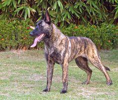 Dutch Shepherd Dog / Hollandse Herder