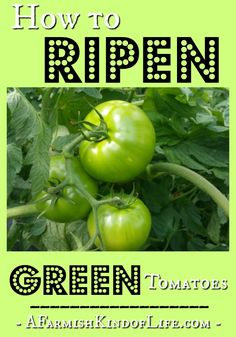 Problems In Growing Tomatoes How to Ripen Green Tomatoes - A Farmish Kind of Life - Staring at a plethora of green tomatoes? I'm here to tell you that you've got two options for how to deal: grab a paper bag.or a frying pan. Gardening For Beginners, Gardening Tips, Kitchen Gardening, Growing Herbs, Growing Vegetables, Ripen Green Tomatoes, Tomato Garden, Garden Tomatoes, Fruit Garden